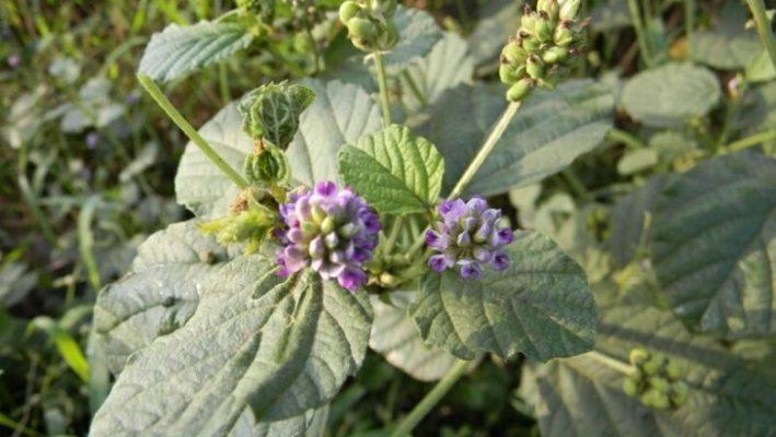 Hoa Bổ cốt chỉ mọc thành chùm ở các kẽ lá, có màu vàng nâu nhạt hoặc tím.