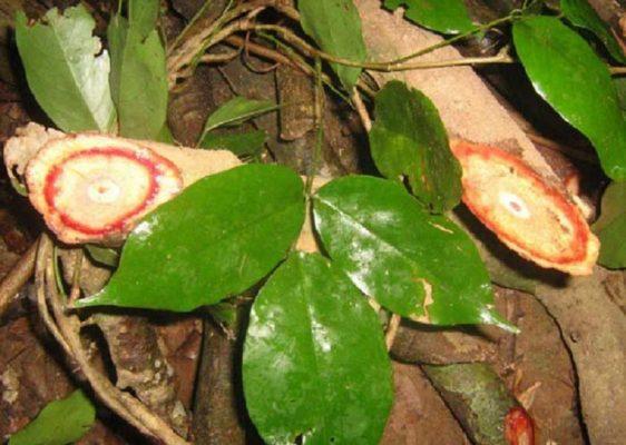Hình ảnh cây cỏ máu